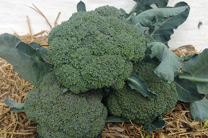 Økologisk broccoli