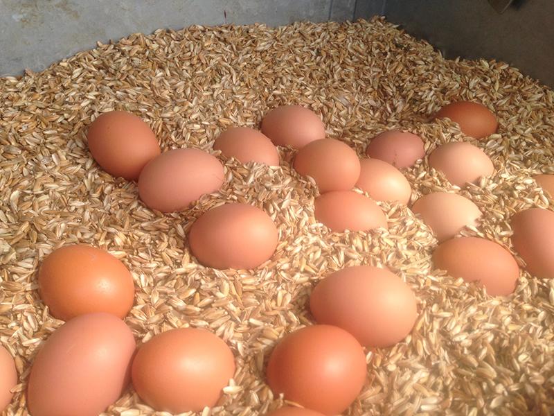 Friske økologiske æg fra Stensbølgård