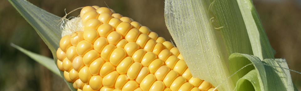 Selvpluk af økologiske majs