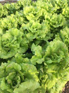 Økologiske salater