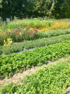 Økologiske krydderurter og blomster