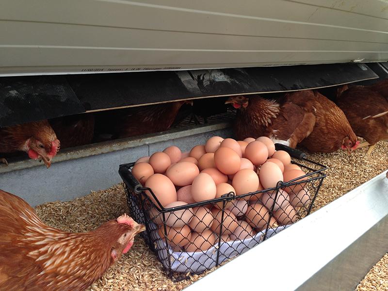 Økologiske æg i mobilt hønsehus